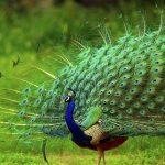 Short Essay on Peacock in Hindi Language