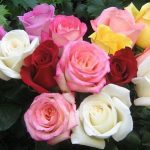 Essay on My Favourite Flower Rose in Hindi