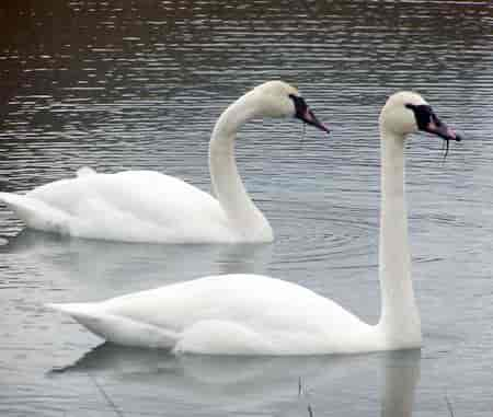 Essay on swan in Hindi